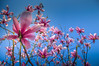 Magnolia (Jeannette Maandag) Tags: magnolia roze blauw colors spring lente tree sky lucht contrast happy pretty flower pink