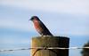 Western bluebird (TJ Gehling) Tags: bird songbird turdidae bluebird westernbluebird sialia sialiamexicana post fence pointmolate richmondca