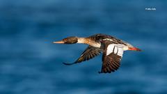 Red-breasted Merganser (Mike Veltri) Tags: merganser birds avain ducks wild fast naturephotography ontario canada