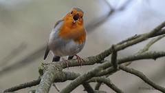 Rotkehlchen (Oerliuschi) Tags: birds singvogel rotkehlchen natur nahaufnahme panasonicgx8
