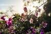 Frailty (thedailyjaw) Tags: d610 nikon 85mm flowers sunset santabarbara sb franceschipark branch lines nature light frailty frail thin ethereal translucent purple bokeh