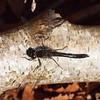 2017_11_0223 (petermit2) Tags: blackdarterdragonfly blackdarter darter dragonfly hatfieldmoors hatfield lindholme doncaster southyorkshire yorkshire peat bog humberheadpeatlands humberhead naturalengland nnr