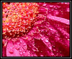 """December Rain..."" -- FLICKR FRIDAY 249 - 1st December 2017 (NikonShutterBug1) Tags: flickrfriday decemberrain macro closeup nikond7100 nature flower waterdroplets rain dew spe smartphotoeditor tamron60mmmacro petal sundaylights"
