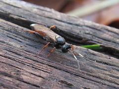 +IMG_6559 Fürkész elölről_cr (NagySandor.EU) Tags: ichneumonidae ichneumoninae ichneumon fürkészdarázs törökbálint hungary nőstény female