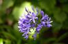 Agapanthus (Jo Tsep) Tags: flower agapanthus violet nikkor nikon mm 50mm madeira madeire portugal fleur color