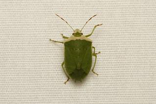 Hemiptera, Pentatomidae sp. (Stink Bug) - South Africa