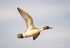 Northern Pintail Drake (tresed47) Tags: 2017 201711nov 20171114bombayhookbirds birds bombayhook canon7d content delaware ducks fall folder northernpintail november peterscamera petersphotos places season takenby us