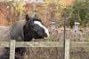Horse #2 Busted! (MJ Harbey) Tags: animal horse equus mammal nikon d3300 nikond3300 buckinghamshire fence birdfeeder bush blackhorse