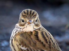 Meadow Pipit... (Catherine Cochrane) Tags: birds bird nature wildlife outdoors cute ayrshire scotland uk meadow pipit meadowpipit ilovenature impressedbeauty pictureperfect