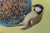 Great tit (Dave 5533) Tags: greattit songbird bird naturephotography birdphotography wildlifephotography outdoor animal canoneos1dx ef300mmf28lisiiusm birdsinisrael inexplore nature birds animalplanet canonextender2xiii coth5