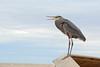 Great Blue Heron (linda m bell) Tags: sonnybono saltonsea nationalwildliferefuge california socal 2017 bird birdwatching greatblueheron unit1