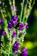 Landed (Ben Folds) (Neil B's) Tags: backgarden mums green purple bee bumble landed pollen sun summer insect