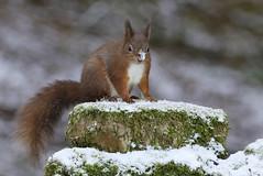 Red Squirrel (Sciurus vulgaris) (Fly~catcher) Tags: sciurus vulgaris red squirrel yorkshire snow wall