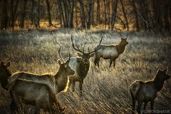 Rocky Mountain Mystique (CTfotomagik) Tags: elk wildlife rut antlers animal mammal colorado loveland larimercounty nikon rockymountains sunlight sunset field landscape forest riparian nature thompson river natural area big 6x6 herd game bull ngc