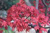 Japanese Maple (Bri_J) Tags: botanicalgardens sheffield southyorkshire uk park yorkshire nikon d7200 japanesemaple acerpalmatum acer red leaves autumn fall