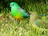 Red Rumped Parrots - male and female. (damselfly58) Tags: redrumpedparrot parrot bird australianbird australianparrot