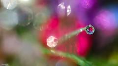 One drop - 4026 (YᗩSᗰIᘉᗴ HᗴᘉS +9 500 000 thx❀) Tags: drop water goutte perle pearl droplet bokehlicious bokeh beyondbokeh macro supermacro color hensyasmine yasminehens 7dwf