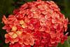 Ixora (ronmcmanus1) Tags: antigua caribbean flowersplants jollyharbour stmarysparish antiguabarbuda