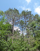 Lac du Flambeau, WI, North Woods, Tall Pine Trees (Mary Warren 9.6+ Million Views) Tags: lacduflambeauwi northwoods nature flora trees green forest pinetrees