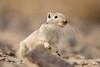 Great gerbil / Grote renmuis (Wim Hoek) Tags: mammals outdoor wildlife 2017 kazachstan groterenmuis september nature diereninhetwild greatgerbil kazakhstan natural naturalbeauty natuur qazaqstan qazaqstanrespublïkası rhombomysopimus zoogdieren naturalbackground almatyprovince kz