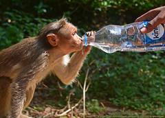 THE PRECIOUS DROP OF LIFE (GOPAN G. NAIR [ GOPS Creativ ]) Tags: gops gopsorg gopsphotography gopangnair gopan photography monkey drink water drop thirst thirsty life precious