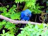 Ara hyacinthe 3 (jean-daniel david) Tags: oiseau perroquet ara nature arbre verdure vert bleu arahyacinthe