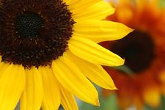 Sunflowers (gripspix (OFF)) Tags: 20171021 sunflowers girasole tournesol sonnenblumen bunt colorful late spät herbst autumn