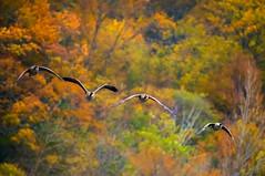 4 fall (Robert R Grove 2) Tags: geese autumn 4 four birds flight robertrgrove wildlife