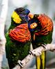 """""""Happiness is having a scratch for every itch."""" (Paul E.M.) Tags: lorikeets scratch bffs color"""