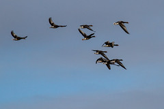 Geese (Frank Schmidt) Tags: geese sky fulge birds watching eos7d outdoor out photo photography picture animals sun denmark day dyr foto l nature canon colorful eos