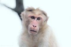 Untitled (Suresh V Raja) Tags: monkey portrait snow winter hills yercaud salem eyes nikon suresh chennai tamilnadu india sureshcprog sureshphotography d5300 nature forest