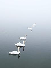 Ready to start... (Alex Switzerland) Tags: lugano switzerland swan lake luganese lago canon eos 6d fog mist autumn cigno nebel black white outdoor outside
