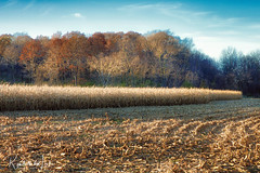 Shades Of November (myoldpostcards) Tags: rural country golden landscape crops trees harvest season fall autumn gum avenue ave menardcounty centralillinois illinois il unitedstates myoldpostcards randy randall vonliski atmosphere shadesofnovember canon eos 5d markiv