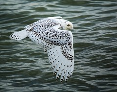 Look out below . . . (Dr. Farnsworth) Tags: wastewater treatment plant bird snowy owl snowyowl flying water holding pond muskegon mi michigan fall november2017