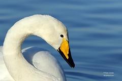 Whooper Swan (Dean Eades BirdMad Wildlife Photography) Tags: birds swans dean eades