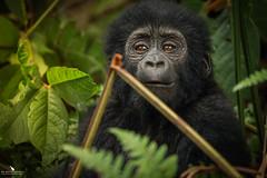Beautiful Bitukura Gorilla Baby (pbmultimedia5) Tags: bitukura gorilla family ruhija region impenetrable forest national park uganda nature wildlife africa pbmultimedia trees rare sight bwindi