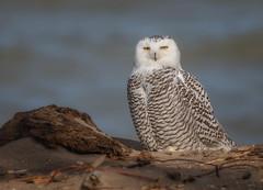 Snowy Owl (Mike Bader) Tags: snowyowls owls birds birdsofprey birdphotography avian avianphotography raptor