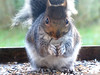 """Smokey"" The Squirrel (caren (Thanks for 2.5 Mio+ views)) Tags: greysquirrel sciuruscarolinensis wales westwales ceredigion animals eichhörnchen"
