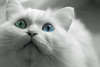 #not-even-unreal (Janne Fairy) Tags: unreal real green blue eyes animal cat katze haustier pet tier augen blau grün white perser persian weis canon canon500d eos500d indoor bokeh dof