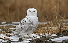 Harfang des neiges / Snowy Owl (alainmaire71) Tags: bird hibou owl hiver winter neige snow wildlife strigidae buboscandiacus harfangdesneiges harfang snowyowl nature quebec canada