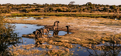 Elephants crossing the Boteti River in Botswana during the dry season (donnatopham) Tags: botswana laroolatau elephantlandscape