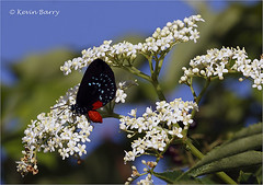 Atala butterfly (Kevin B Photo) Tags: florida morning sunrise browardcounty sunny atalabutterfly kevinbarry insect entomology small black rare flowers