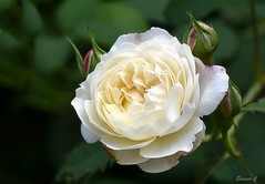 Weekend Rose (Eleanor (No multiple invites please)) Tags: rose creamrose busheyrosegarden bushey herts uk nikond7200 105mmmacrolens august2017