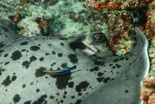 Black-Blotched Stingray and his Bicolour Cleaner Wrasse. Trigone Macchie Nere e il suo Pesce Pulitore. (Taeniura Meyeni and Labroides Bicolor).