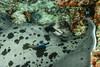 Black-Blotched Stingray and his Bicolour Cleaner Wrasse. Trigone Macchie Nere e il suo Pesce Pulitore. (Taeniura Meyeni and Labroides Bicolor). (omar.flumignan) Tags: stingray cleanerfish blackblotchedstingray bicolourcleanerwrasse trigonemacchienere pescepulitore taeniurameyeni labroidesbicolor mysachika crociera cruise maldive maldives atollo atoll sea mare arinord northari batalakanthila canon g7xmk2 fantasea fg7xmk2 ikelite ds51 allnaturesparadise ngc flickrtravelaward
