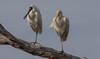 yellow-billed spoonbill (Platalea flavipes) and royal spoonbill (Platalea regia)-2033 (rawshorty) Tags: rawshorty birds canberra australia act mulligansflat bestofnature