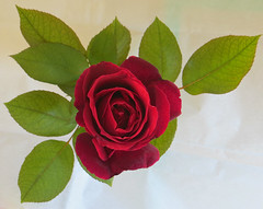 Mr. Lincoln Rose 26 October 2017 6813Ri (edgarandron - Busy!) Tags: plants flower flowers rose roses mrlincoln