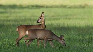 Roe Deer ~ Capreolus capreolus