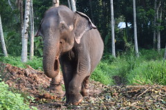 Elephas maximus maximus (Miriam Christine) Tags: elephas maximus elephant asian sri lanka subspecies endemic native captive working retired retirement sanctuary conservation elderly protected millennium foundation mef care tied intelligent magnificent beautiful sad adult mammal