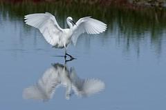 DSC_0905_DxO_pn - Grande Aigrette - Ardea alba - Great Egret (Berzou) Tags: leteich grandeaigrette ardeaalba greategret aigrette bird oiseau nature naturebynikon fantasticnature nikond7200 tamron150600